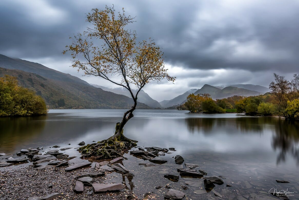 lonely tree with golden leaves Llanberis Snowdonia Wales