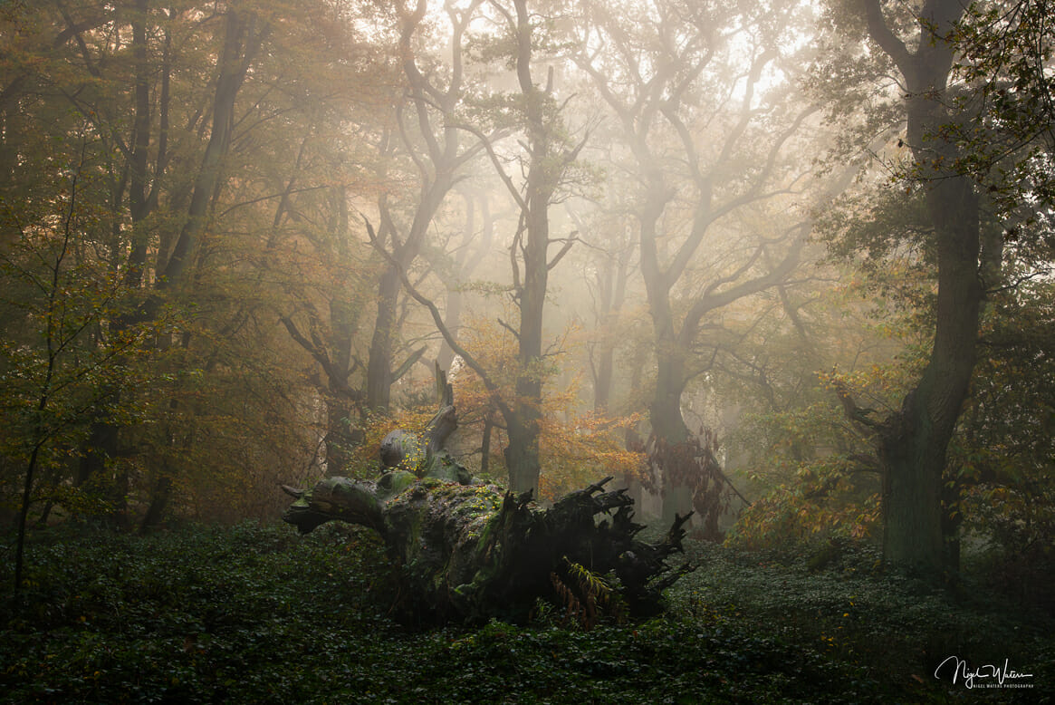 Photograph of fallen veteran tree in mist worcestershire
