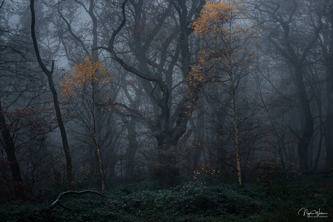 Guardians of the Forest Woodland Photograph taken at blue hour during a misty winters morning