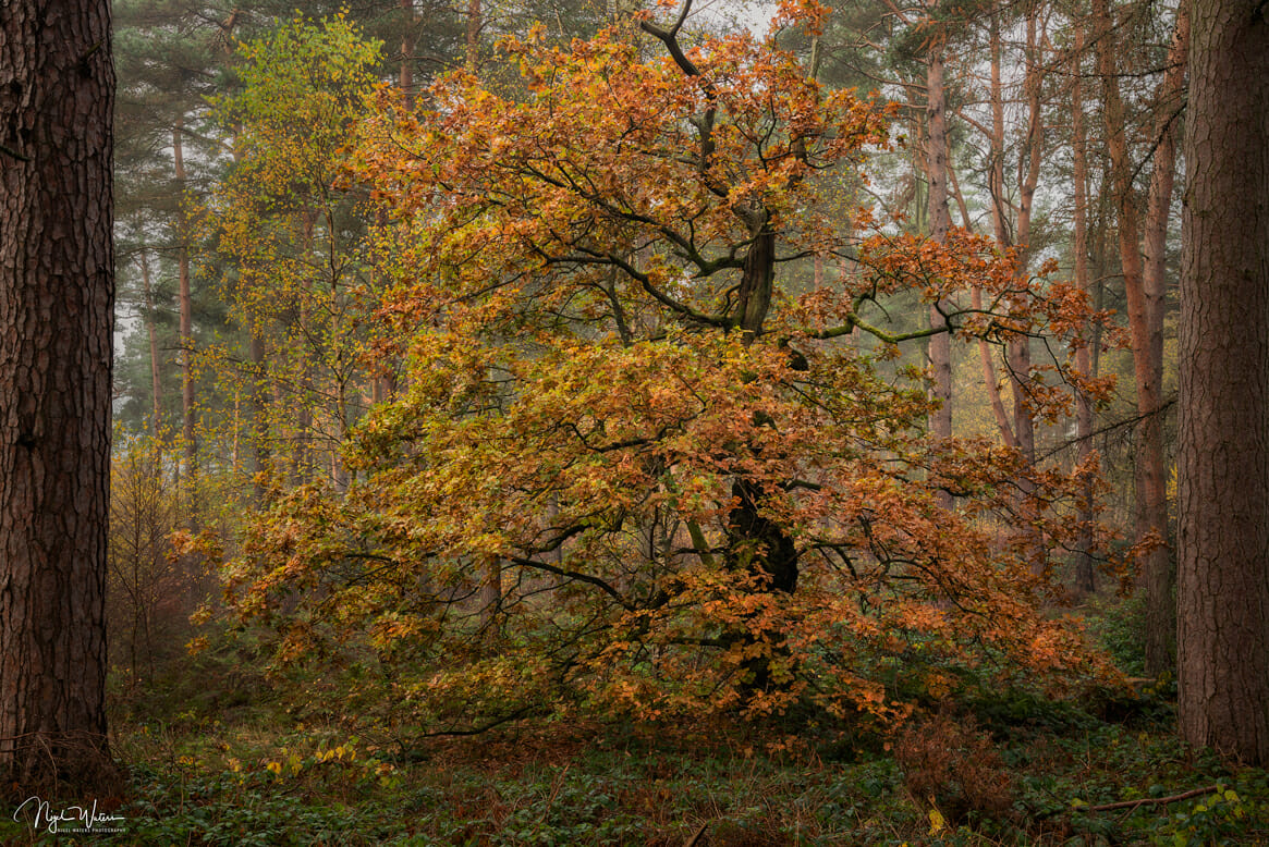 A beautiful autumnal woodland scene titled Temptress