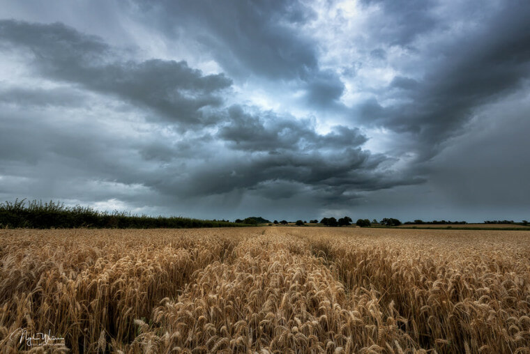 Tempestuous fields of gold